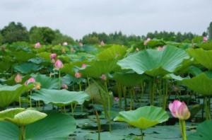 Lac+lotus1